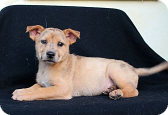 Shepherd (Unknown Type)/Catahoula Leopard Dog Mix Puppy for adoption in Los Angeles, California - Sunkist