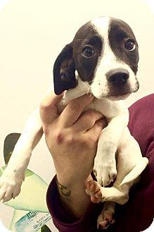 Pointer Mix Puppy for adoption in Lafayette, New Jersey - Sadie