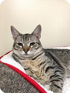 Domestic Shorthair Kitten for adoption in Gloucester, Massachusetts - Michi