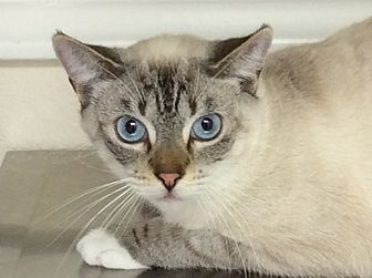 Siamese Cat for adoption in Hollister, California - Snowball