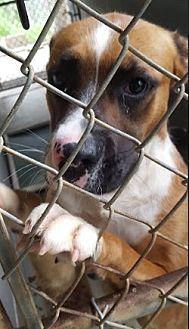 Boxer/American Bulldog Mix Dog for adoption in Marianna, Florida - Axil