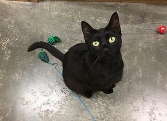 Domestic Shorthair Cat for adoption in Capshaw, Alabama - Inky Dinky