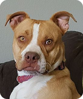 Pit Bull Terrier Mix Dog for adoption in Severance, Colorado - CHARLIE