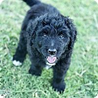 Adopt A Pet :: Mary Puppins - Auburn, CA