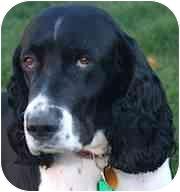 English Springer Spaniel Dog for adoption in Minneapolis, Minnesota - Sherman (MN)