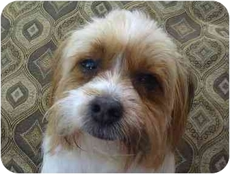 Havanese Mix Dog for adoption in Phoenix, Arizona - Donner