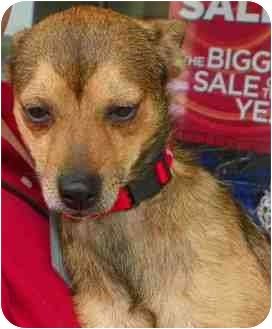 Terrier (Unknown Type, Small) Mix Dog for adoption in Loudonville, New York - Biscuit