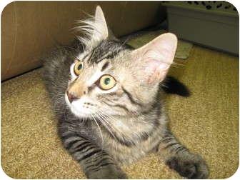 Maine Coon Kitten for adoption in Trevose, Pennsylvania - Calipso
