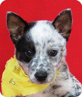 Australian Cattle Dog Puppy for adoption in Irvine, California - Aussie