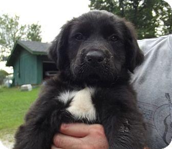 Labrador Retriever/Hound (Unknown Type) Mix Puppy for adoption in Danbury, Connecticut - Feisty