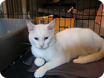 Domestic Shorthair Cat for adoption in Speonk, New York - Kasper
