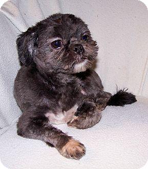 Shih Tzu Dog for adoption in San Angelo, Texas - Sophie