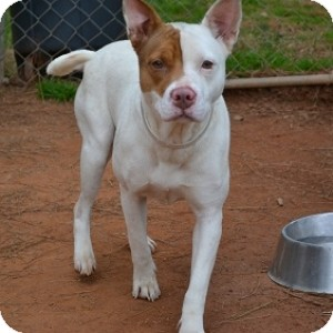 Pit Bull Terrier Mix Dog for adoption in Athens, Georgia - Keeva