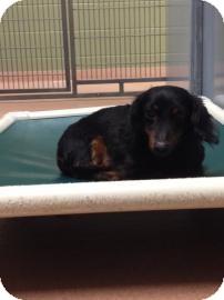Dachshund Dog for adoption in Columbus, Georgia - Max 2840