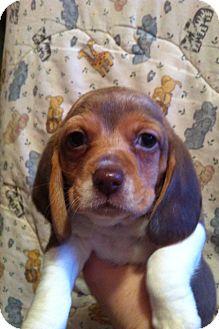Basset Hound/Beagle Mix Puppy for adoption in Armada, Michigan - Sleepy