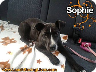 Pit Bull Terrier Mix Puppy for adoption in Pitt Meadows, British Columbia - Sophie