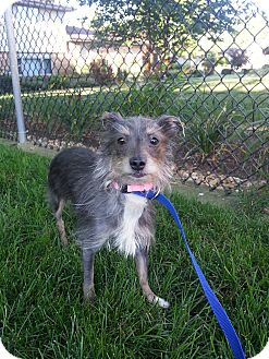 Chinese Crested/Yorkie, Yorkshire Terrier Mix Dog for adoption in Orland Park, Illinois - Lola