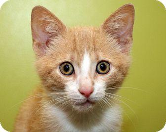 Domestic Shorthair Kitten for adoption in Royal Oak, Michigan - CARLTON