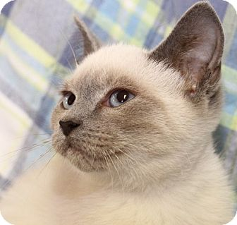 Siamese Kitten for adoption in Winston-Salem, North Carolina - Jasmine