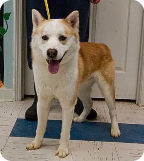 Husky/Shiba Inu Mix Dog for adoption in Martinsville, Indiana - Parker