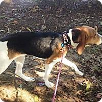 Adopt A Pet :: Dixie - Leesburg, VA