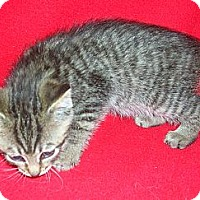Adopt A Pet :: Rez Kitten #7 - Yakima, WA