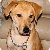 Adopt A Pet :: Caramel - FOSTER NEEDED - Seattle, WA