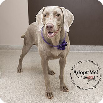 Weimaraner Dog for adoption in Troy, Ohio - Opal