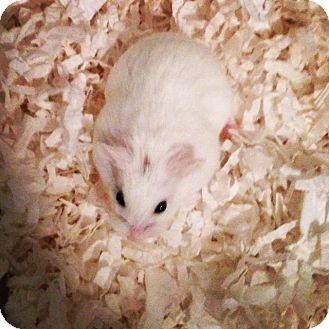 Hamster for adoption in Bensalem, Pennsylvania - Cannoli