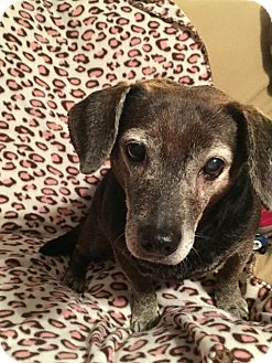 Beagle/Dachshund Mix Dog for adoption in Marcellus, Michigan - Molly Wigglepants
