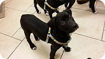 Labrador Retriever/Boxer Mix Puppy for adoption in Cincinnati, Ohio - Tootsie