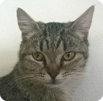 Domestic Shorthair Kitten for adoption in Midvale, Utah - Clarisse