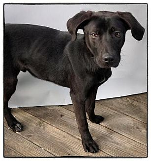 Labrador Retriever Mix Dog for adoption in Freeport, New York - Max