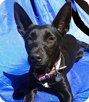 Australian Kelpie/Labrador Retriever Mix Dog for adoption in San Francisco, California - Libby