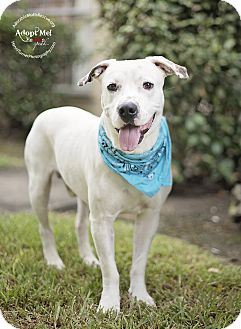 American Pit Bull Terrier Mix Dog for adoption in Portland, Oregon - TOMMY