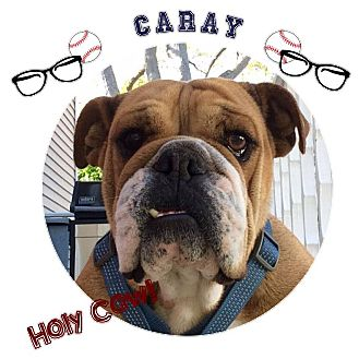 English Bulldog Mix Dog for adoption in Park Ridge, Illinois - Caray