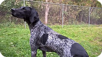 German Shorthaired Pointer Dog for adoption in Alma, Wisconsin - Milo