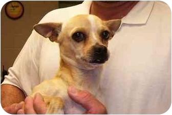 Chihuahua Dog for adoption in Osceola, Arkansas - PeeWee