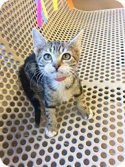Domestic Shorthair Kitten for adoption in Cumming, Georgia - Ariel