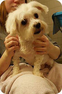 Maltese Dog for adoption in Urbana, Ohio - Everest Miller