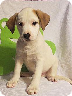 Labrador Retriever/Hound (Unknown Type) Mix Puppy for adoption in Elkton, Maryland - Ty