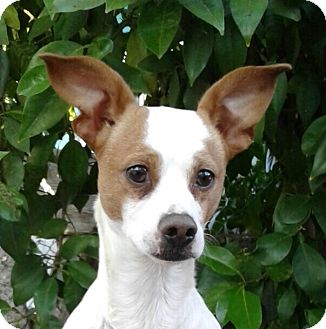Jack Russell Terrier/Chihuahua Mix Dog for adoption in Santa Monica, California - MANNY