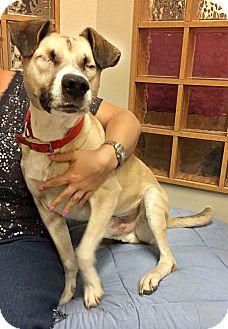 Shepherd (Unknown Type)/Labrador Retriever Mix Dog for adoption in Tempe, Arizona - Toby
