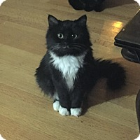 Domestic Mediumhair Cat for adoption in Vancouver, British Columbia - Pickle