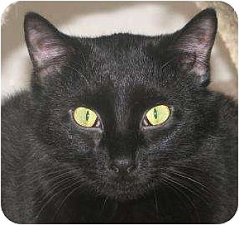 Domestic Shorthair/Domestic Shorthair Mix Cat for adoption in Woodstock, Illinois - Jinx
