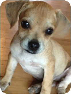 Pug/Terrier (Unknown Type, Small) Mix Puppy for adoption in Cranford, New Jersey - Party