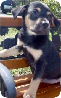 Rat Terrier Mix Puppy for adoption in Chapel Hill, North Carolina - Kahlua