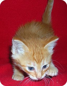 Domestic Shorthair Kitten for adoption in Yakima, Washington - Rez Kitten #3