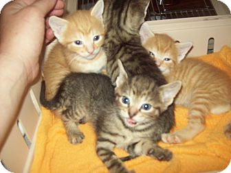 Domestic Shorthair Kitten for adoption in Little Neck, New York - itty bitty kitty 6-8