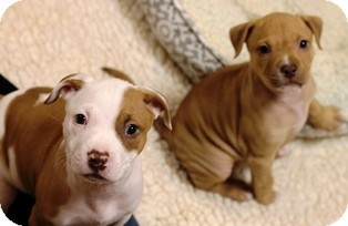 Pit Bull Terrier Mix Puppy for adoption in Norwalk, Connecticut - Heddy & Fanny